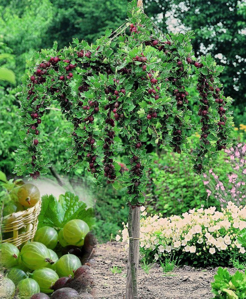 Dominik Gartenparadies Stachelbeer-Stamm grün, ...