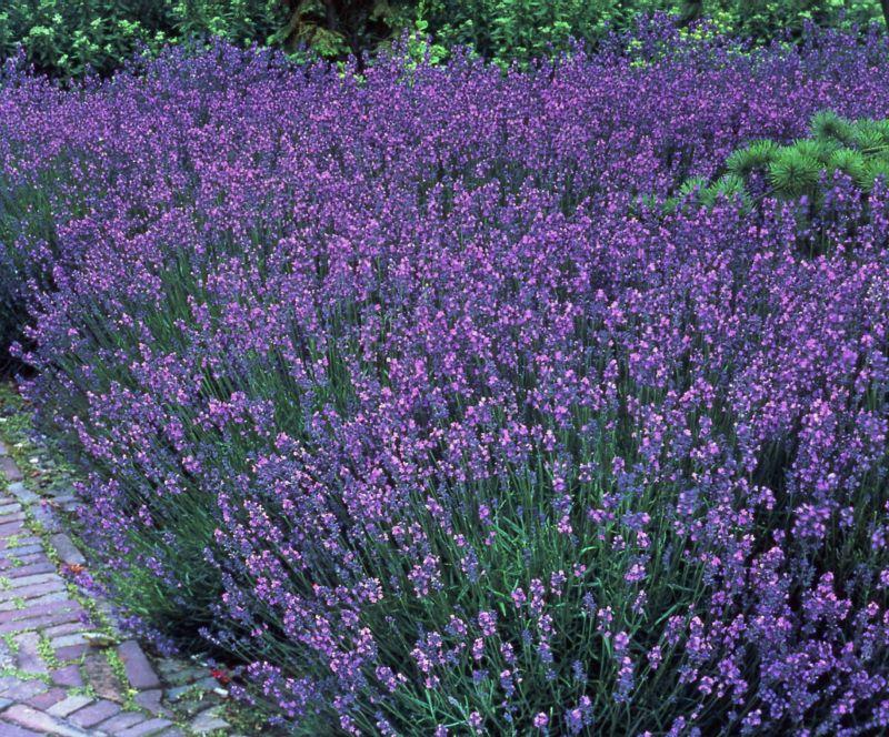 Dominik Gartenparadies Staude Lavendel, 5 Stück...