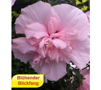 Gefüllter Hibiskus Chiffon pink 1 Pflanze Hibiscus syriacus winterhart, Baldur-Garten, Rot