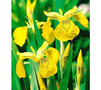 Gelbe Schwertlilie (Iris pseudacorus),3 Pflanzen Wasserpflanze Teichpflanze, Baldur-Garten, Lila