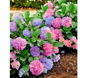 Winterharte Freiland-Hortensie L.A. Dreamin® 1 Pflanze Hydrangea, Baldur-Garten, Lila