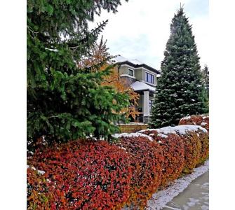 , Winterharte Cotoneaster-Hecke 1 Pflanze Zwergmispel