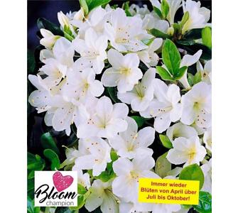 , Durchblühende Azalee 'Bloom Champion' weiß 1 Pflanze Rhododendron winterhart, Lila
