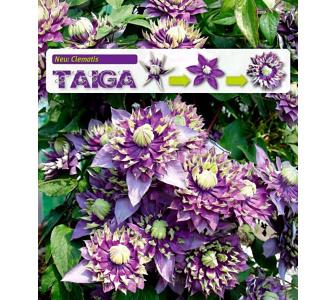 Gefüllte Clematis Taiga® 1 Pflanze Waldrebe winterhart, Baldur-Garten