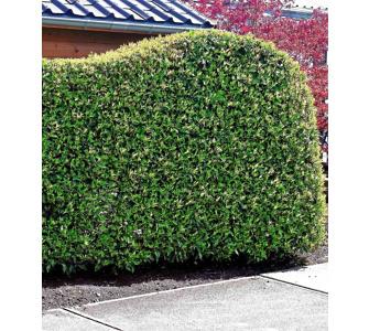 , Portugiesischer Kirschlorbeer 1 Pflanze Prunus lusitanica winterhart
