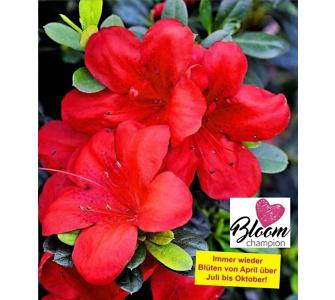 Durchblühende Azalee 'Bloom Champion' rot 1 Pflanze Rhododendron winterhart, Baldur-Garten, Rot