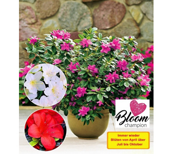 Durchblühende Azaleen 'Bloom Champion' 4 Farben 4 Pflanzen Rhododendron winterhart, Baldur-Garten, Lila
