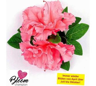, Durchblühende Azalee 'Bloom Champion' pink 1 Pflanze Rhododendron winterhart, Lila