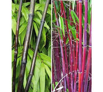 bambus pflanzen kaufen preisvergleiche. Black Bedroom Furniture Sets. Home Design Ideas