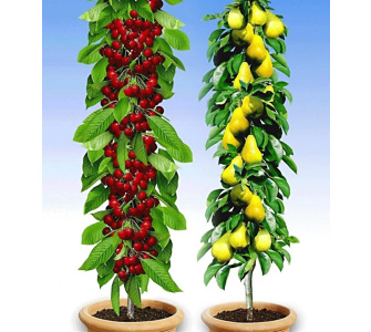 kirsche pflanzen preisvergleiche erfahrungsberichte und kauf bei nextag. Black Bedroom Furniture Sets. Home Design Ideas