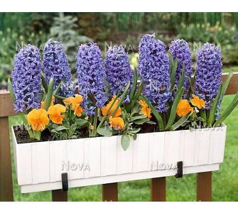 Dominik Gartenparadies Hyazinthen blau blühend, Zwiebelgröße 14/15, 4x3 Zwiebel