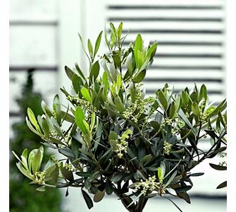 so pflegen sie ihren eigenen olivenbaum gartenxxl ratgeber. Black Bedroom Furniture Sets. Home Design Ideas