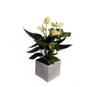 , Flamingo-Blume, Anthurie, weiß blühend, 1 Pflanze + Scheurich Übertopf grau stone, ca. 14x14x14 cm, Rosa