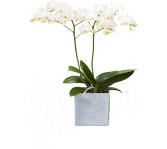 , Orchidee (Phalaenopsis) weiß blühend, 2 triebig 1 Pflanze + 1 Scheurich Übertopf grau stone, Rosa