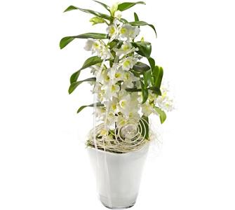 Die orchidee k nigin der zimmerpflanzen gartenxxl ratgeber - Asiatische zimmerpflanzen ...