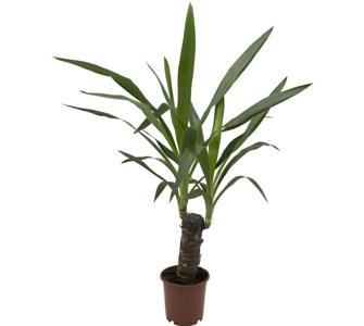 winterharte palmen kaufen sonstige preisvergleiche. Black Bedroom Furniture Sets. Home Design Ideas