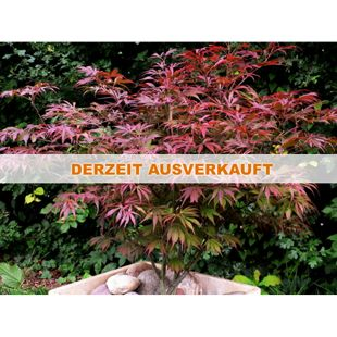 Dominik Gartenparadies Großblättriger Japanischer Ahorn,rot,1 Pflanze
