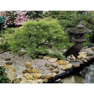 Dominik Gartenparadies Japanischer Schlitzahorn, grün, 1 Pflanze