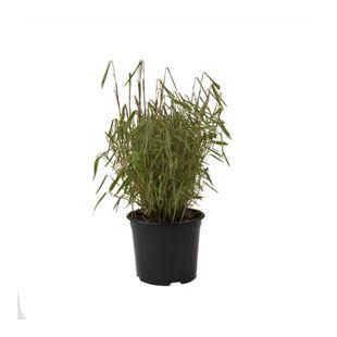 Dominik Gartenparadies Zwergbambus, 1 Pflanze