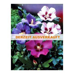 Dominik Gartenparadies Roseneibisch, Hibiskus, blau, Strauch, 1Stück