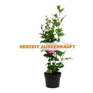 Dominik Gartenparadies Roseneibisch, Hibiskus, rot, Strauch, 1Stück