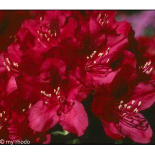 Dominik Gartenparadies Rhododendron, 2 Liter, rot/rosa, 1 Pflanze