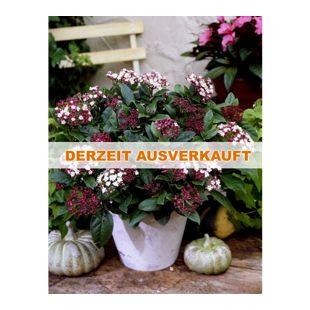 Dominik Gartenparadies Mittelmeer-Winterschneeball-Strauch, 1 Pflanze