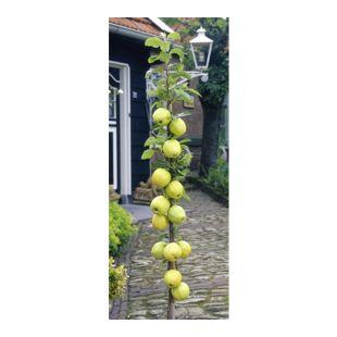Dominik Gartenparadies Säulenapfel Goldbäckchen, 1 Stück