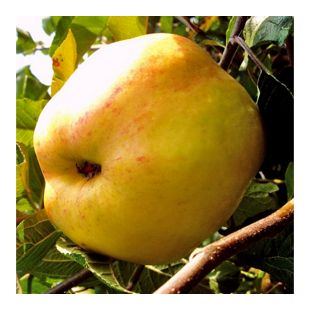Dominik Gartenparadies Apfel Dülmener Rosenapfel, Busch, 1 Stück