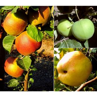 Dominik Gartenparadies 3er Set Apfelbaum alte Sorten, Klarapfel, Dülmener Rosen, Roter Boskop
