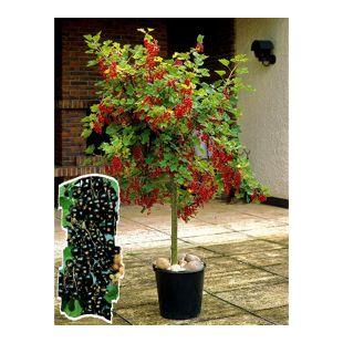 Dominik Gartenparadies Johannisbeer-Stämmchen, schwarz, 1Stück