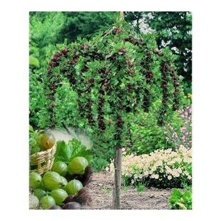 Dominik Gartenparadies Stachelbeer-Stamm grün, 1 Stück