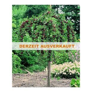 Dominik Gartenparadies Stachelbeer-Stamm rot, 1 Stück