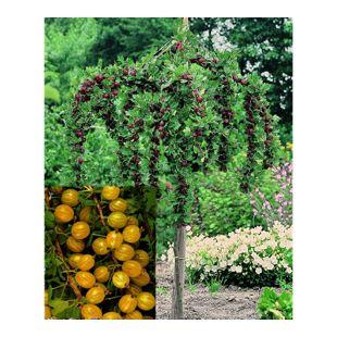 Dominik Gartenparadies Stachelbeer-Stamm, gelb, 1 Stück