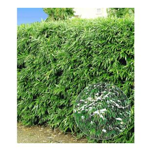 Winterharte Bambus-Hecke, 5 Pflanzen, Fargesia murielae Simba