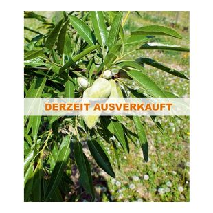 "Mandel ""Papierski"",1 Pflanze"