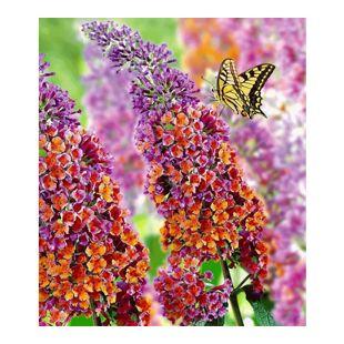 Buddleia Sommerflieder 'Flower-Power®', 1 Pflanze, Buddleja Hybride