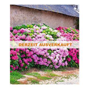 Freiland-Hortensien-Hecke 'Pink-rosé', Rosa Bauernhortensie 3 Pflanzen Hydrangea