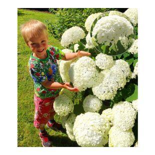 """Schneeball-Hortensie """"Annabelle"""";1 Pflanzen"""