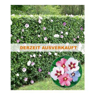 Hibiskus-Hecke, 5 Pflanzen