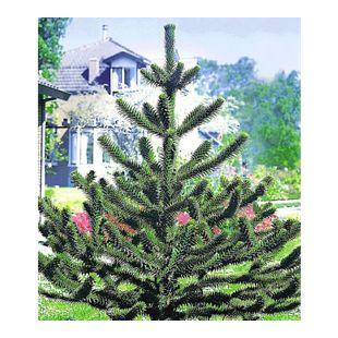 Affenschwanz-Baum, Chilenische Schmucktanne, Affenbaum, Affenschaukel, Andentanne, 1 Pflanze Araucaria