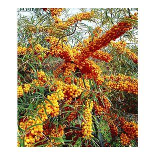 Sanddorn Busch 'Orange Energy®' Paar, 2 Pflanzen Hippophae rhamnoides