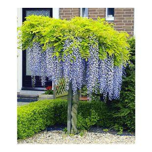 Blauregen auf Stamm, 1 Pflanze Wisteria sinensis Glycinie