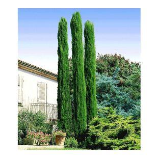 Echte Toskana 'Säulen-Zypressen', 1 Pflanze, Cupressus sempervirens pyramidalis