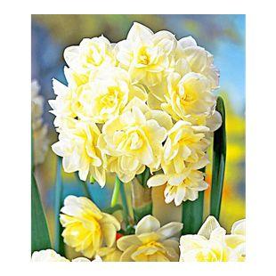 Duft-Sommer-Narzissen, Osterglocken 'Erlicheer', 8 Zwiebeln, Narcissus Erlicheer