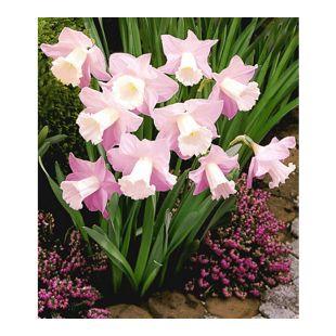 Narzissen 'Rosa Trompete', Osterglocken, 10 Zwiebeln, Narcissus Hybrid