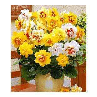 Gefüllte Narzissen, Osterglocken Prachtmix, 50 Zwiebeln Narcissus