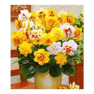 Doppelt gefüllte Narzissen, Osterglocken Prachtmix, 25 Zwiebeln Narcissus