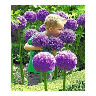 Zierlauch Allium 'Globemaster', 1 Zwiebeln
