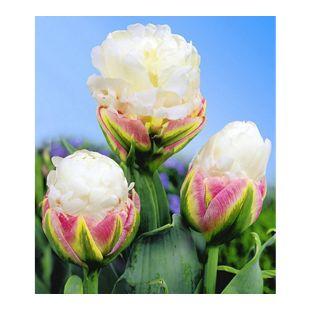 Tulpen 'Ice Cream®', 3 Zwiebeln